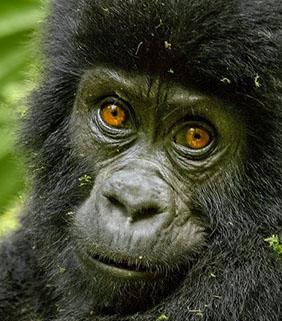 Luxury Gorilla Safari Uganda