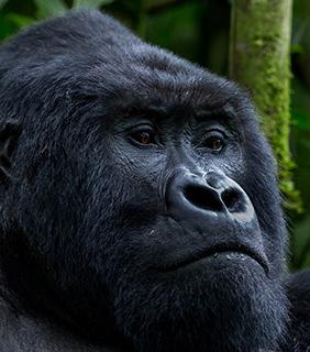 Combined Gorilla Safaris
