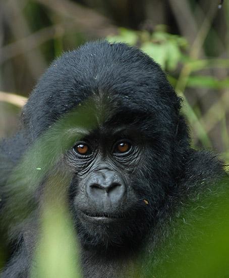 Kigali Bwindi Gorilla Trekking