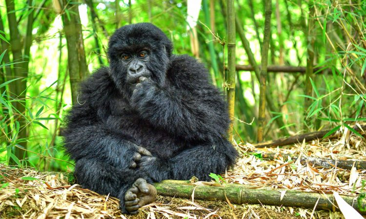 4 Days Rwanda Gorillas & Dian Fossey Hike