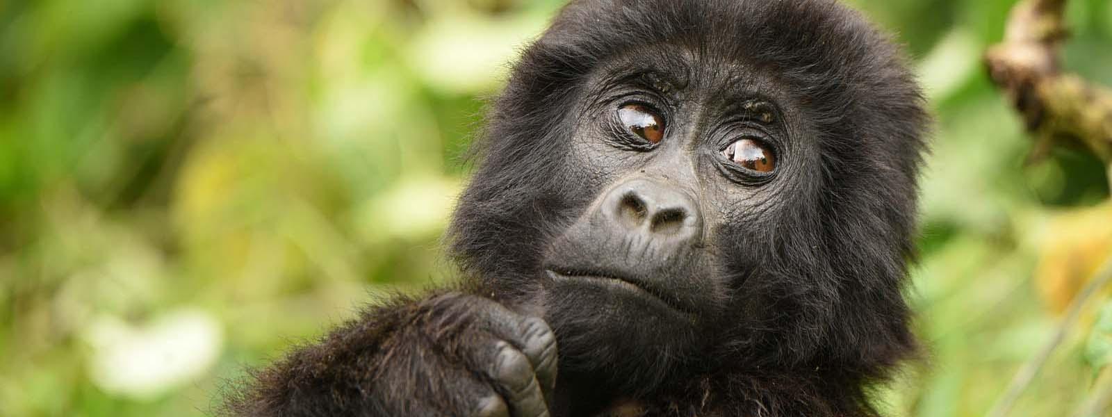 bwindi gorilla from kigali